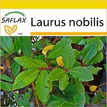 SAFLAX - Anzucht Set - Gewürzlorbeerbaum - 6 Samen - Laurus nobilis
