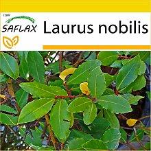 SAFLAX - Anzucht Set - Gewürzlorbeerbaum - 6