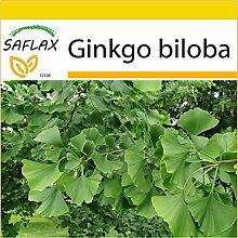 SAFLAX - Anzucht Set - Ginkgo - 4 Samen - Ginkgo