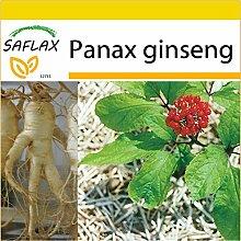SAFLAX - Anzucht Set - Ginseng - 10 Samen - Panax ginseng
