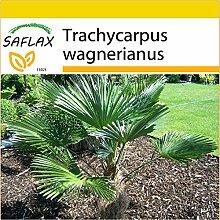 SAFLAX - Anzucht Set - Hanfpalme wagnerianus - 4