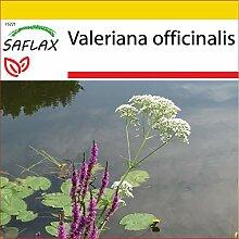 SAFLAX - Anzucht Set - Heilpflanzen - Baldrian -