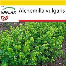 SAFLAX - Anzucht Set - Heilpflanzen - Frauenmantel