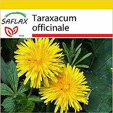 SAFLAX - Anzucht Set - Heilpflanzen - Löwenzahn -