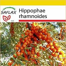 SAFLAX - Anzucht Set - Heilpflanzen - Sanddorn -
