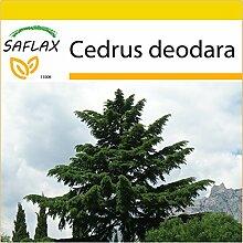 SAFLAX - Anzucht Set - Himalaya Zeder - 35 Samen -