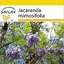 SAFLAX - Anzucht Set - Jacaranda - 50 Samen -