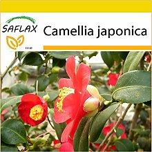 SAFLAX - Anzucht Set - Japanische Kamelie - 4 Samen - Camellia japonica
