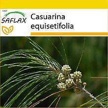 SAFLAX - Anzucht Set - Känguruhbaum - 200 Samen -