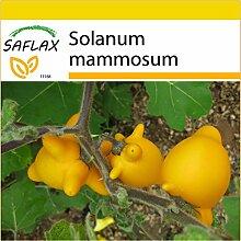 SAFLAX - Anzucht Set - Kuheuterpflanze - 10 Samen - Solanum mammosum