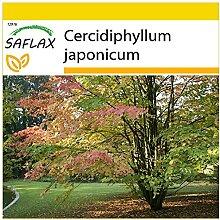 SAFLAX - Anzucht Set - Lebkuchenbaum - 200 Samen -