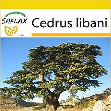 SAFLAX - Anzucht Set - Libanon - Zeder - 20 Samen