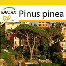 SAFLAX - Anzucht Set - Mittelmeer - Pinie - 6