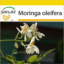 SAFLAX - Anzucht Set - Moringa - 10 Samen -