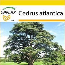 SAFLAX - Anzucht Set - Nordafrikanische Atlas