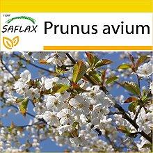 SAFLAX - Anzucht Set - Vogelkirsche - 10 Samen -