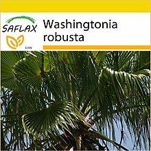 SAFLAX - Anzucht Set - Washingtonia Fächerpalme -