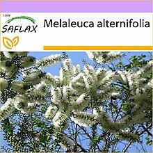 SAFLAX - Australischer Teebaum - 400 Samen -