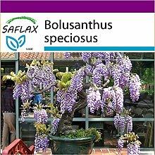 SAFLAX - Big Garden - Bonsai - Afrikanischer