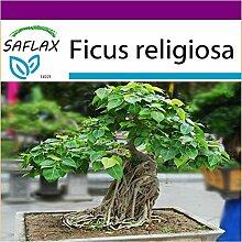 SAFLAX - Big Garden - Bonsai - Buddha-Feige /