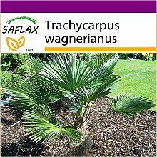 SAFLAX - Big Garden - Hanfpalme wagnerianus - 4