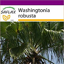 SAFLAX - Big Garden - Washingtonia Fächerpalme -