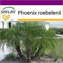 SAFLAX - Big Garden - Zwerg - Dattelpalme - 25
