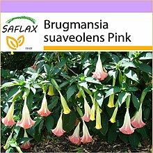 SAFLAX - Engelstrompete/Pink - 10 Samen -