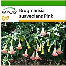 SAFLAX - Engelstrompete/Pink - 10 Samen - Mit