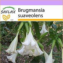 SAFLAX - Engelstrompete/Weiß - 10 Samen -