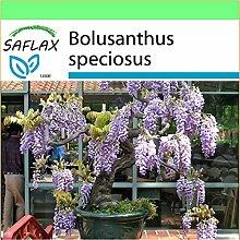 SAFLAX - Garden to Go - Bonsai - Afrikanischer