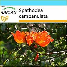 SAFLAX - Geschenk Set - Afrikanischer Tulpenbaum -