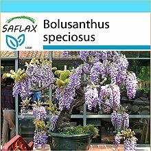 SAFLAX - Geschenk Set - Bonsai - Afrikanischer
