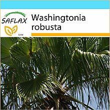 SAFLAX - Geschenk Set - Washingtonia Fächerpalme