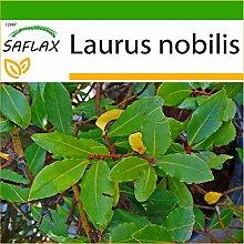 SAFLAX - Gewürzlorbeerbaum - 6 Samen - Mit