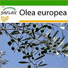 SAFLAX - Ölbaum - 20 Samen - Mit keimfreiem