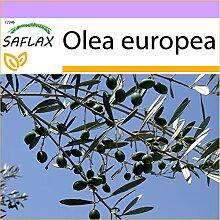 SAFLAX - Ölbaum - 20 Samen - Olea europea