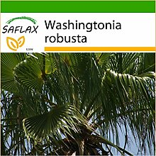 SAFLAX - Washingtonia Fächerpalme - 12 Samen -