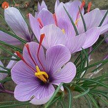 Safran Getopfte Samen Bonsai Balkon Blume