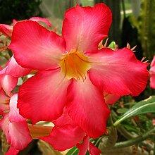 Sage Samen, Chia-Samen, Blumensamen Bonsai Salvia