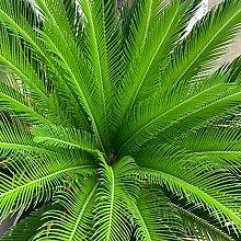 Sago Cycas Samen, Sago Cycas Samen tropisch Leicht