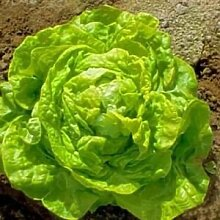 Salat Weiß Boston Gemüsesamen (Lactuca sativa)