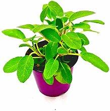 Salbei Pflanze, Salvia officinalis Kräuter