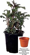 Salbei, Purpur Kräuter Pflanze 12er Topf