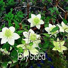 Sale! 100 Stück / Packung Clematis Seed Terrasse und Garten Balkon Topfgrünpflanzen Grün Clematis Kletterpflanze, # QDWOFE