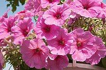 Samen Keimung: Petunia Cascade - Pink - 160 Samen