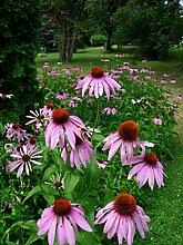 Samen/Packet 300 Echinacea purpurea Roter Sonnenhu