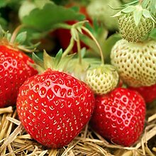 Samen Paket: 100 Samen Strawberry Mara Des Bois