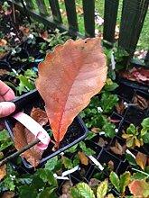 Samen Paket: Damiyo Oak Tree Pflanzgut, 1 Jahr