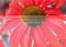 Samen-Paket: Heirloom Rare Echinacea 'Tomato
